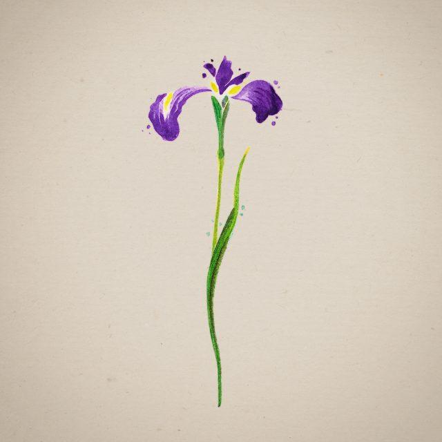 iris, iridis